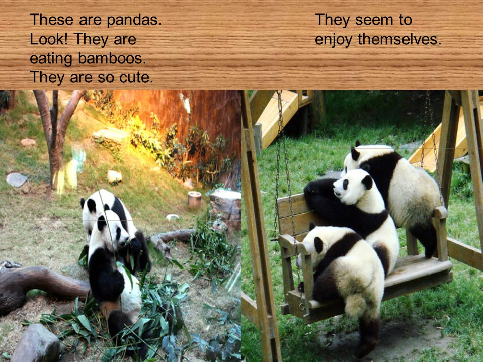 These are pandas. They seem to Look! They are enjoy themselves. eating bamboos. They are so cute.