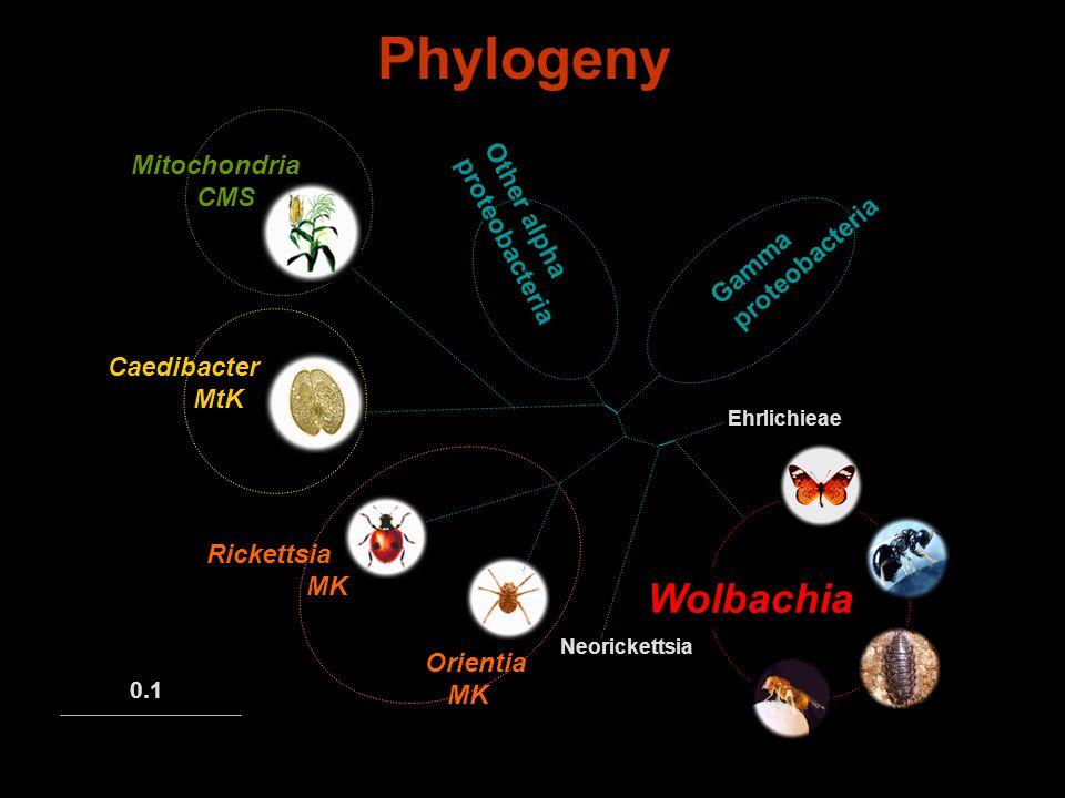 Phylogeny Other alpha proteobacteria Ehrlichieae Neorickettsia Gamma proteobacteria 0.1 Wolbachia Caedibacter MtK Mitochondria CMS Orientia MK Rickettsia MK