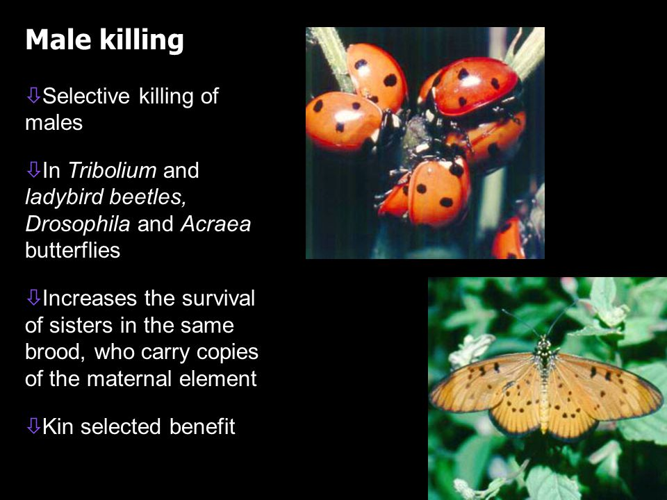 Male killing ò ò Selective killing of males ò ò In Tribolium and ladybird beetles, Drosophila and Acraea butterflies ò ò Increases the survival of sisters in the same brood, who carry copies of the maternal element ò ò Kin selected benefit