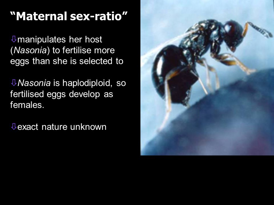 Maternal sex-ratio ò ò manipulates her host (Nasonia) to fertilise more eggs than she is selected to ò ò Nasonia is haplodiploid, so fertilised eggs develop as females.