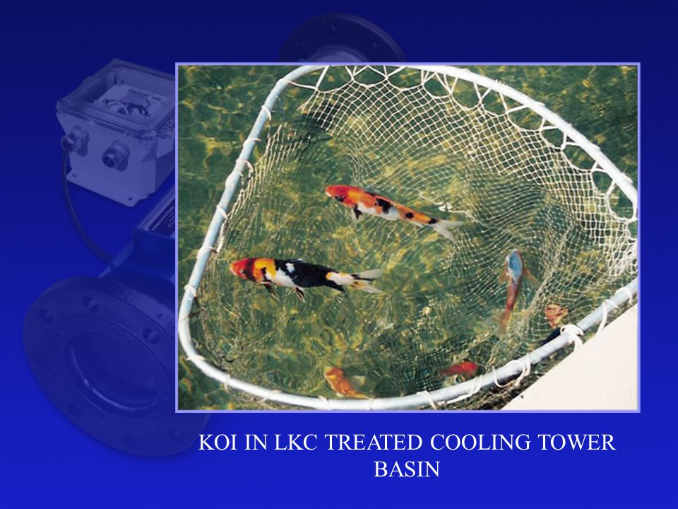 KOI IN LKC TREATED COOLING TOWER BASIN