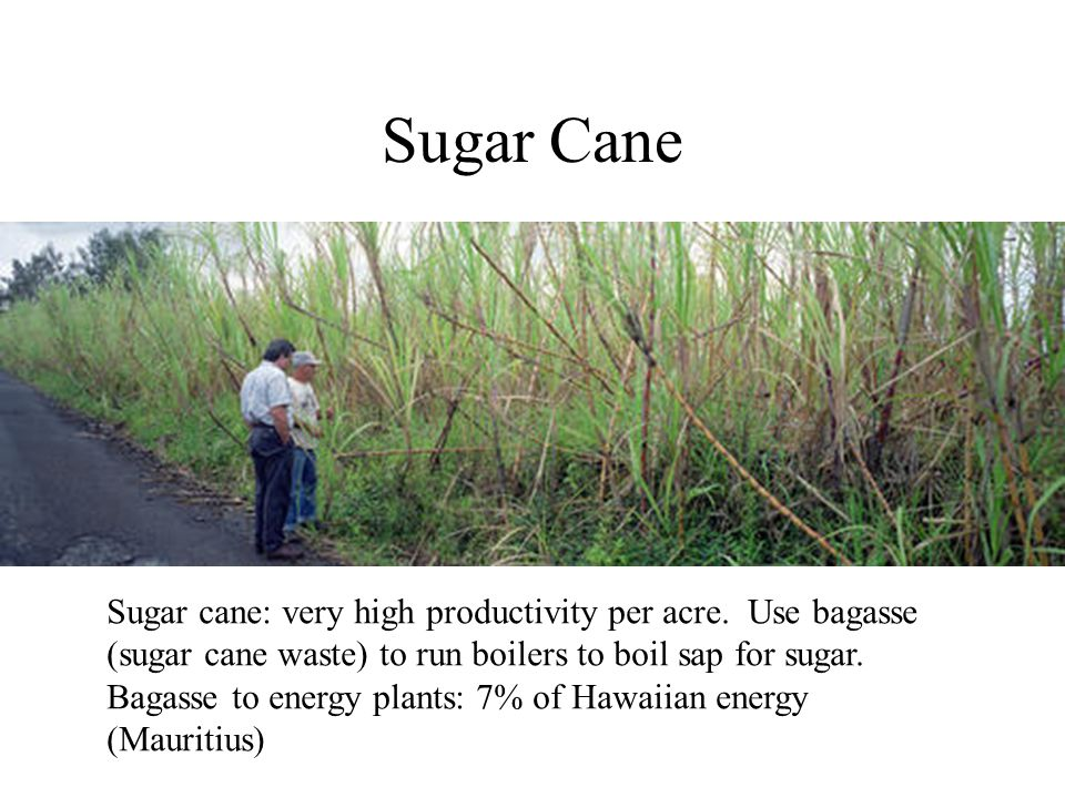 Sugar Cane Sugar cane: very high productivity per acre.