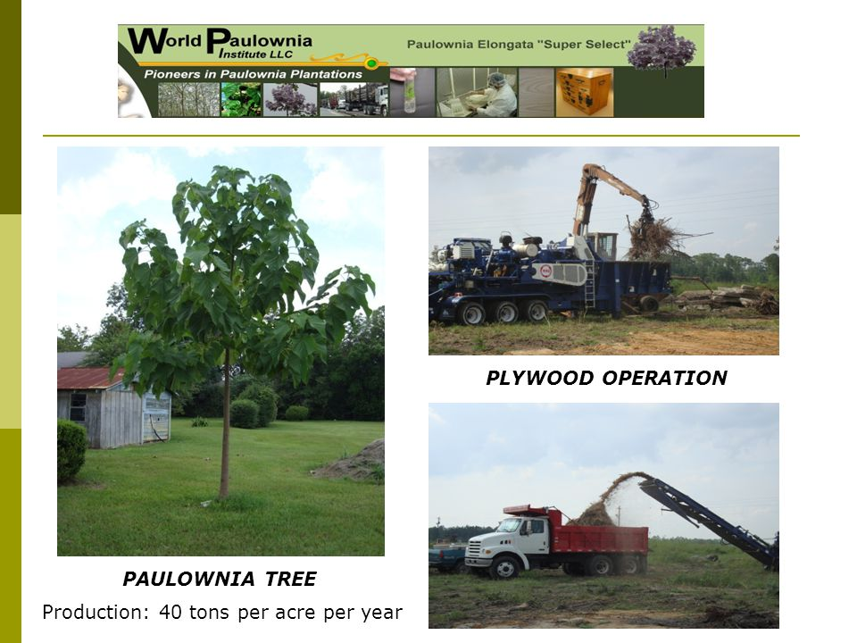 PAULOWNIA TREE PLYWOOD OPERATION Production: 40 tons per acre per year