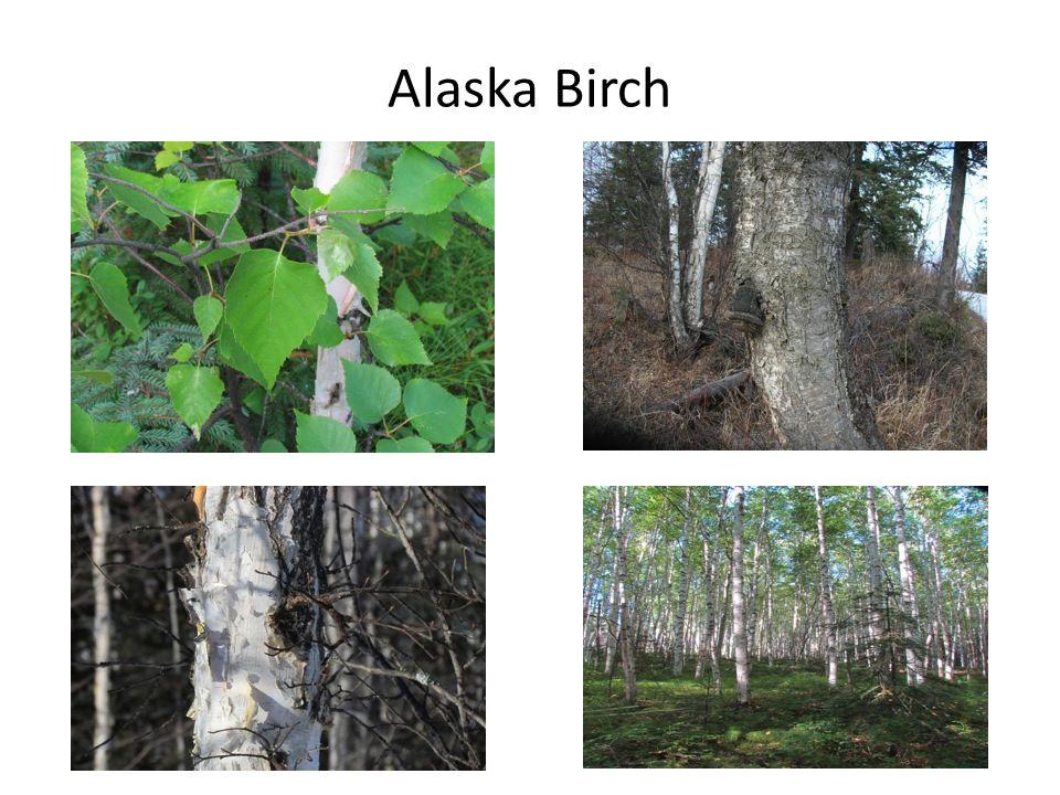 Alaska Birch