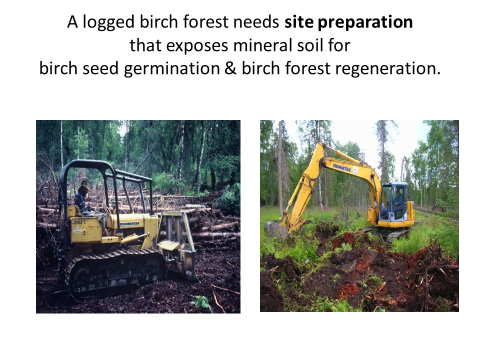 A logged birch forest needs site preparation that exposes mineral soil for birch seed germination & birch forest regeneration.