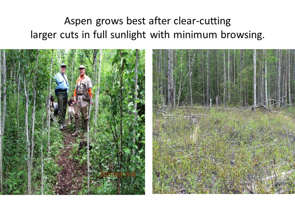 Aspen grows best after clear-cutting larger cuts in full sunlight with minimum browsing.