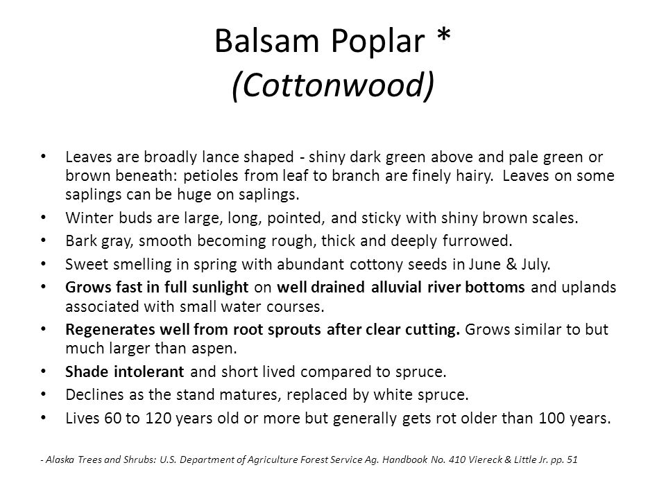 Balsam Poplar * (Cottonwood) Leaves are broadly lance shaped - shiny dark green above and pale green or brown beneath: petioles from leaf to branch ar