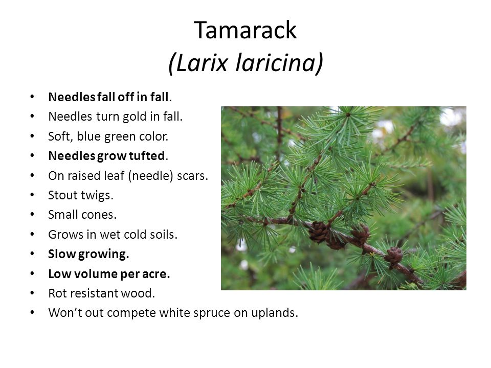 Tamarack (Larix laricina) Needles fall off in fall.