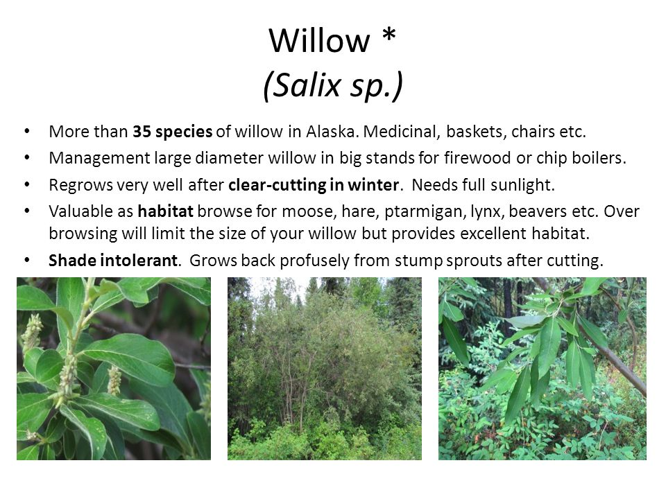 Willow * (Salix sp.) More than 35 species of willow in Alaska. Medicinal, baskets, chairs etc. Management large diameter willow in big stands for fire