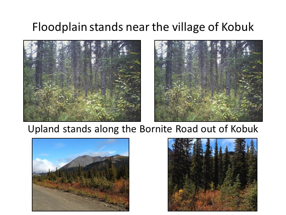 Floodplain stands near the village of Kobuk Upland stands along the Bornite Road out of Kobuk