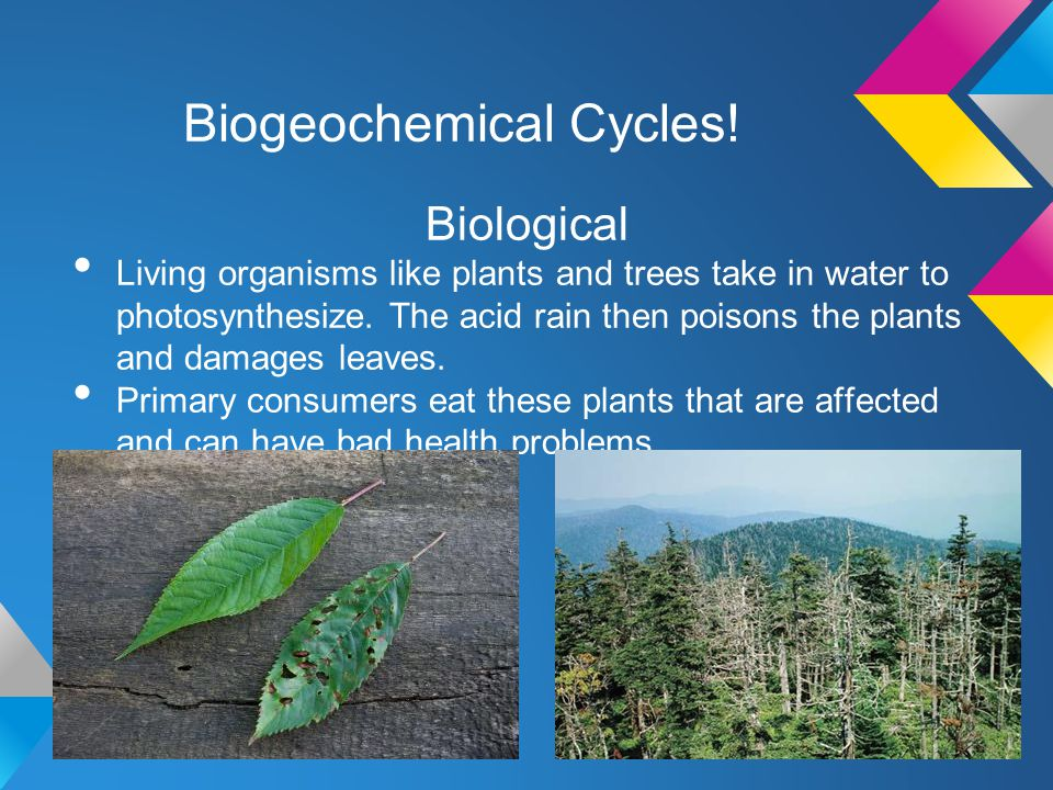 Biogeochemical Cycles! Biological Living organisms like plants and trees take in water to photosynthesize. The acid rain then poisons the plants and d
