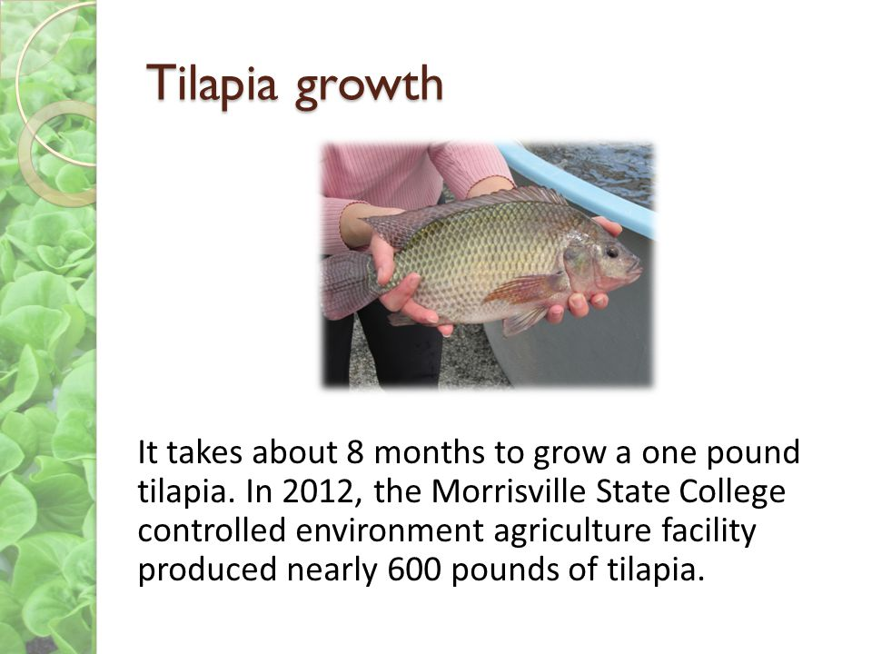 Tilapia growth It takes about 8 months to grow a one pound tilapia. In 2012, the Morrisville State College controlled environment agriculture facility