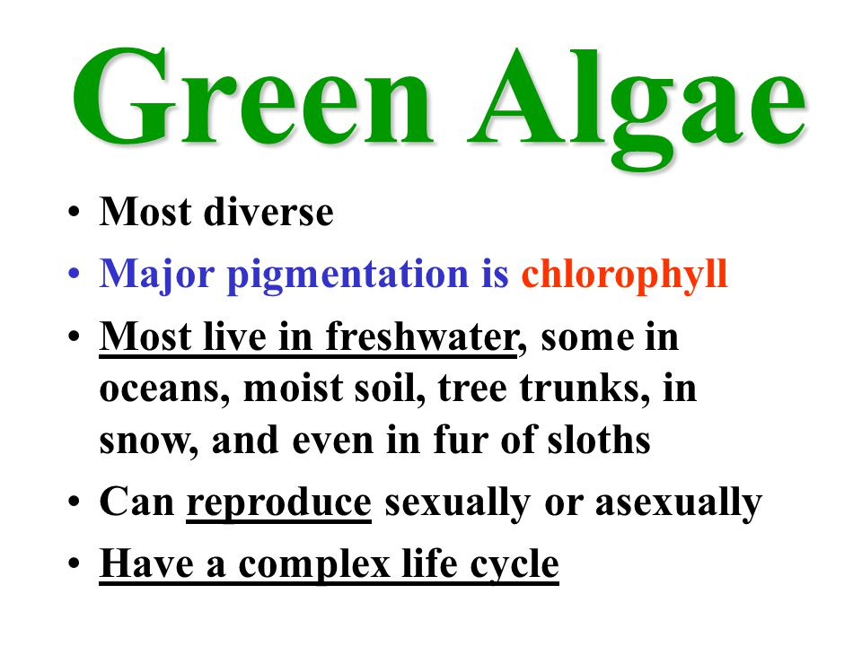 Green Algae Most diverse Major pigmentation is chlorophyll Most live in freshwater, some in oceans, moist soil, tree trunks, in snow, and even in fur