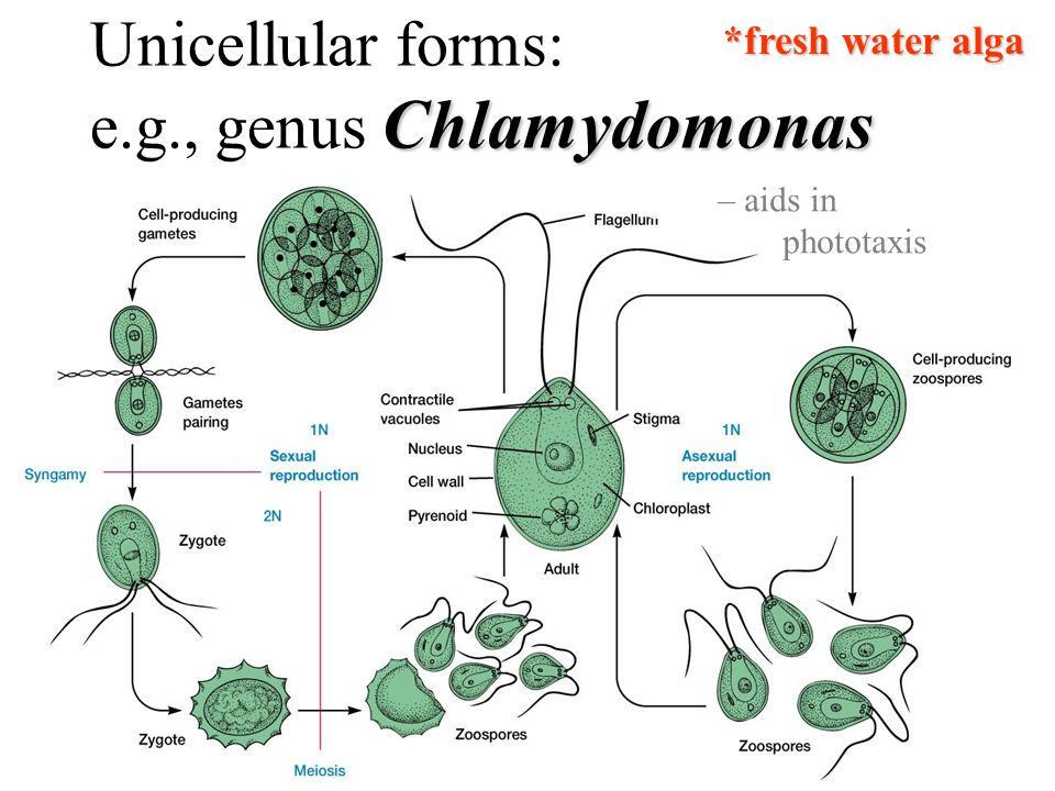 Unicellular forms: Chlamydomonas e.g., genus Chlamydomonas stigma – aids in phototaxis *fresh water alga