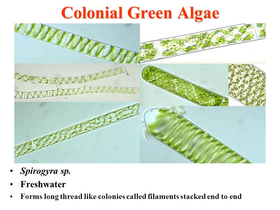 Colonial Green Algae Spirogyra sp. Freshwater Forms long thread like colonies called filaments stacked end to end