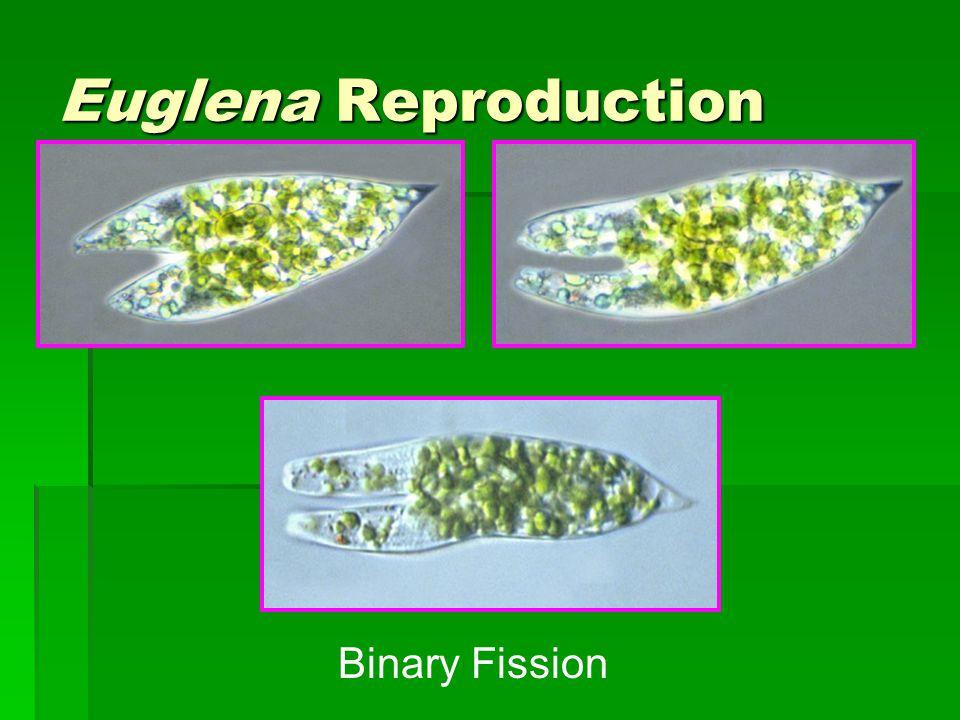 Euglena Reproduction Binary Fission