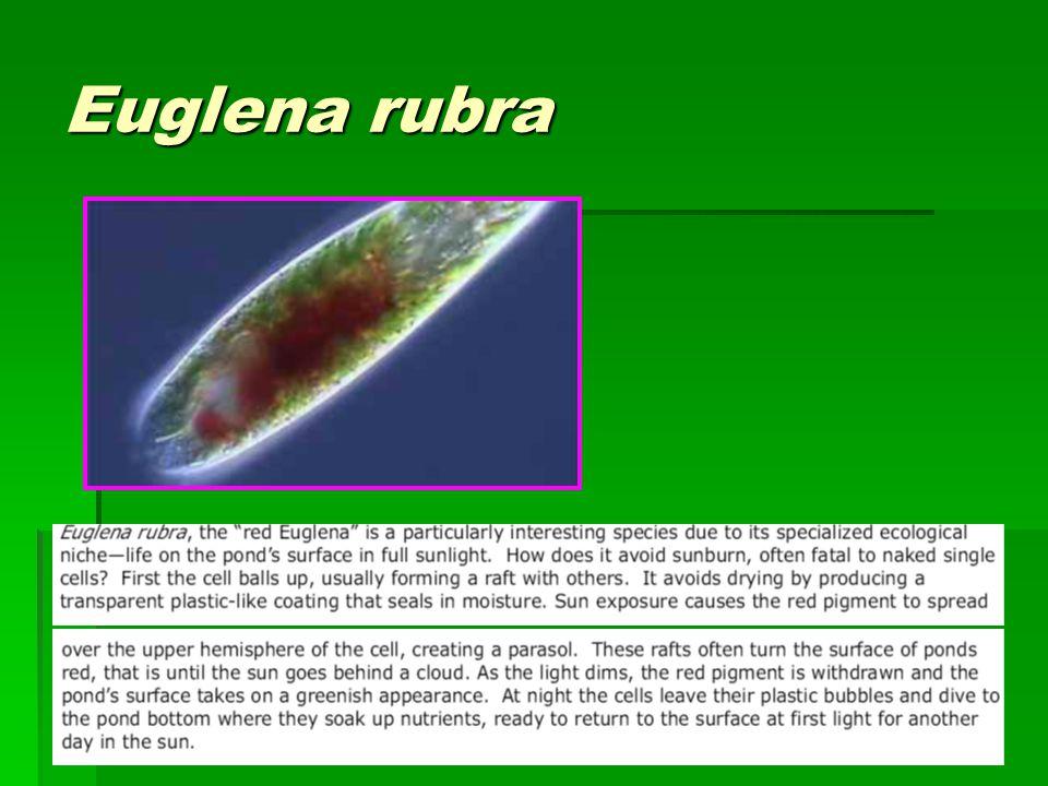 Euglena rubra