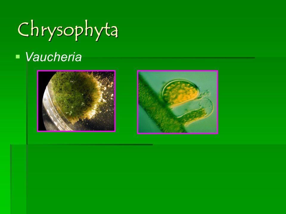 Chrysophyta Vaucheria
