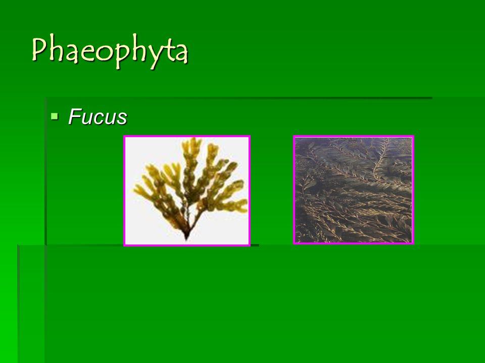 Phaeophyta Fucus Fucus