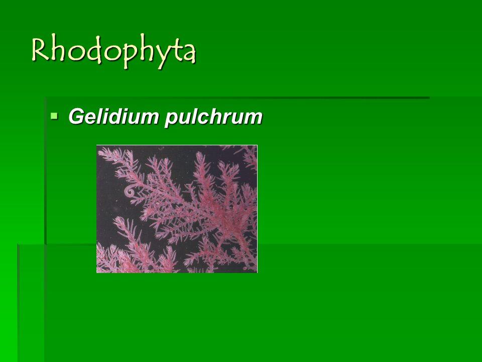 Rhodophyta Gelidium pulchrum Gelidium pulchrum