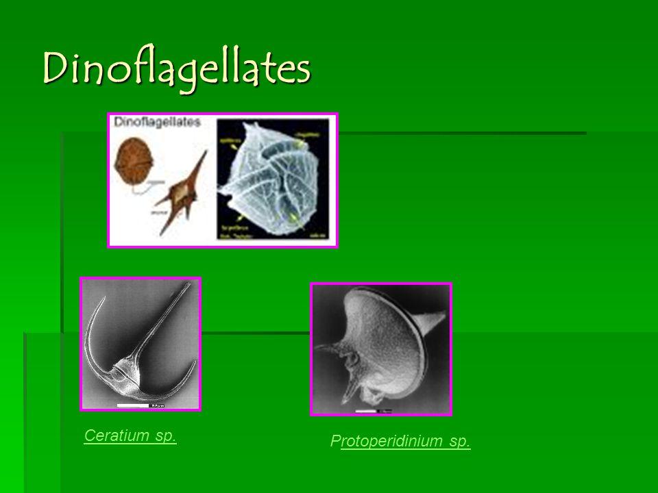 Dinoflagellates Ceratium sp. Protoperidinium sp.rotoperidinium sp.