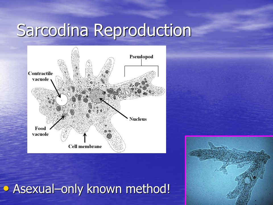 Sarcodina Reproduction Asexual–only known method! Asexual–only known method!