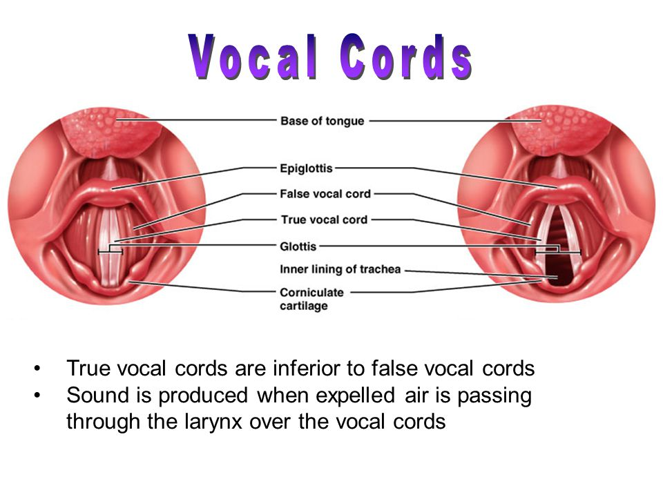 True vocal cords are inferior to false vocal cords Sound is produced when expelled air is passing through the larynx over the vocal cords