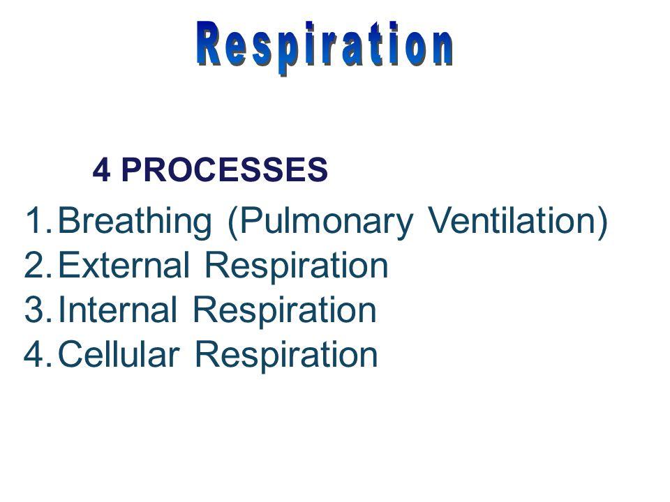 1.Breathing (Pulmonary Ventilation) 2.External Respiration 3.Internal Respiration 4.Cellular Respiration 4 PROCESSES