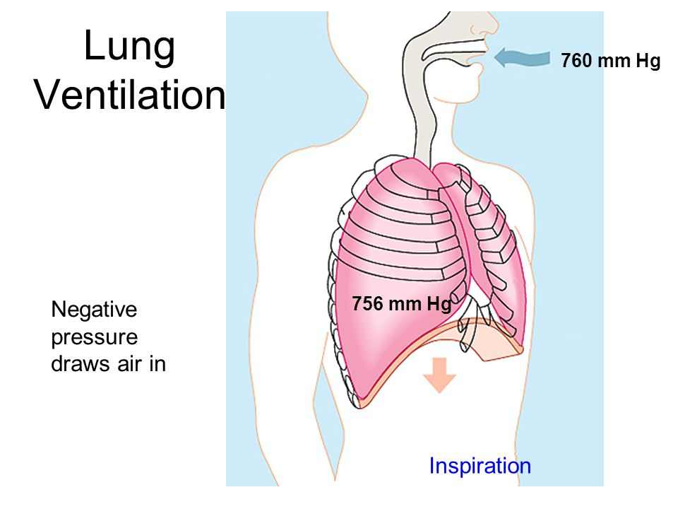 Lung Ventilation Inspiration 760 mm Hg 756 mm Hg Negative pressure draws air in