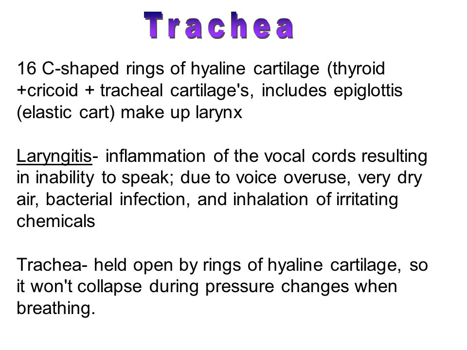 16 C-shaped rings of hyaline cartilage (thyroid +cricoid + tracheal cartilage s, includes epiglottis (elastic cart) make up larynx Laryngitis- inflammation of the vocal cords resulting in inability to speak; due to voice overuse, very dry air, bacterial infection, and inhalation of irritating chemicals Trachea- held open by rings of hyaline cartilage, so it won t collapse during pressure changes when breathing.