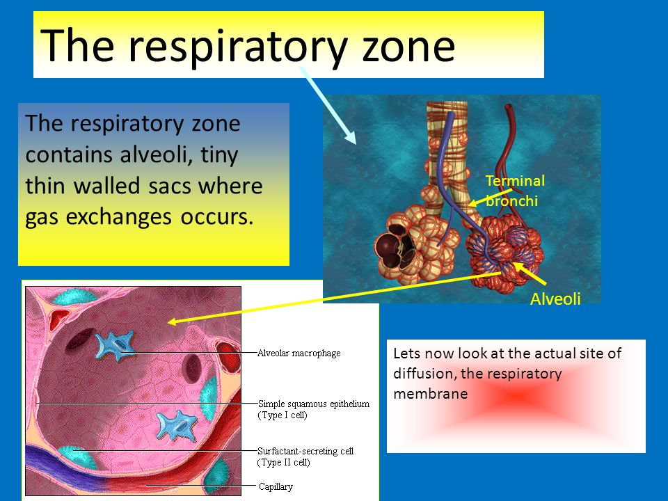 The respiratory zone Terminal bronchi Alveoli The respiratory zone contains alveoli, tiny thin walled sacs where gas exchanges occurs. Lets now look a