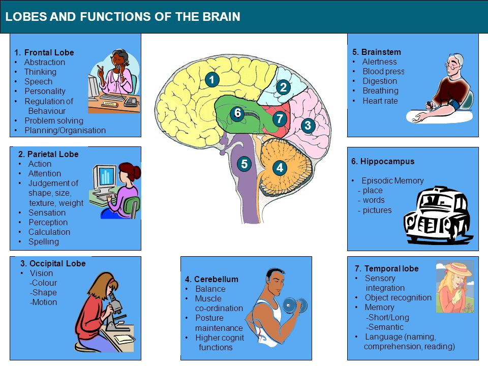 1.Frontal Lobe Abstraction Thinking Speech Personality Regulation of Behaviour Problem solving Planning/Organisation LOBES AND FUNCTIONS OF THE BRAIN 6.