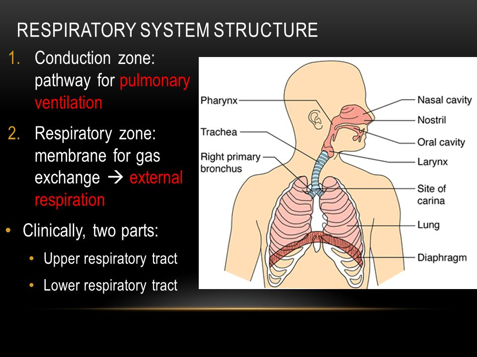 RESPIRATORY SYSTEM STRUCTURE Histology reflects the different functions of the different parts of the system Position in respiratory pathway determines cell type non-keratinized stratified squamous pseudostratified ciliated columnar cuboidal ciliated simple squamous / Type I Alveolar cells simple squamous / Type I Alveolar cells