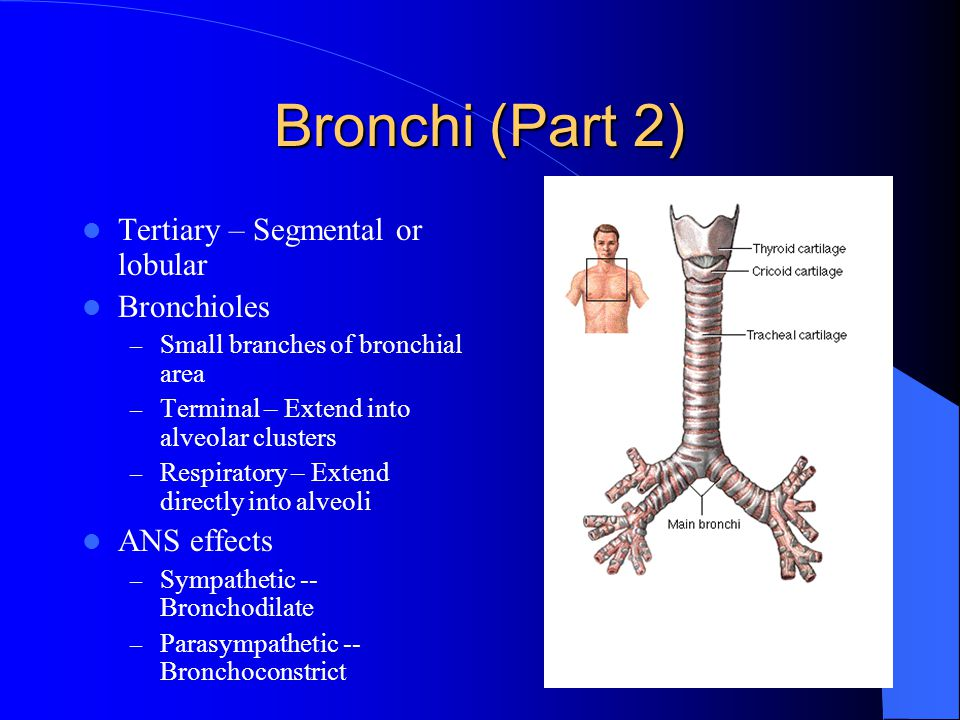 Bronchi (Part 2) Tertiary – Segmental or lobular Bronchioles – Small branches of bronchial area – Terminal – Extend into alveolar clusters – Respiratory – Extend directly into alveoli ANS effects – Sympathetic -- Bronchodilate – Parasympathetic -- Bronchoconstrict