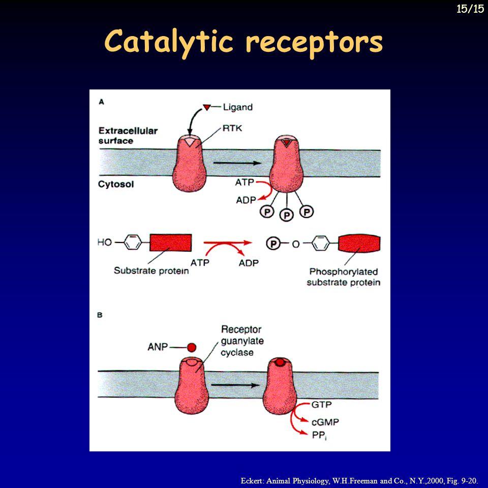 Catalytic receptors Eckert: Animal Physiology, W.H.Freeman and Co., N.Y.,2000, Fig. 9-20. 15/15