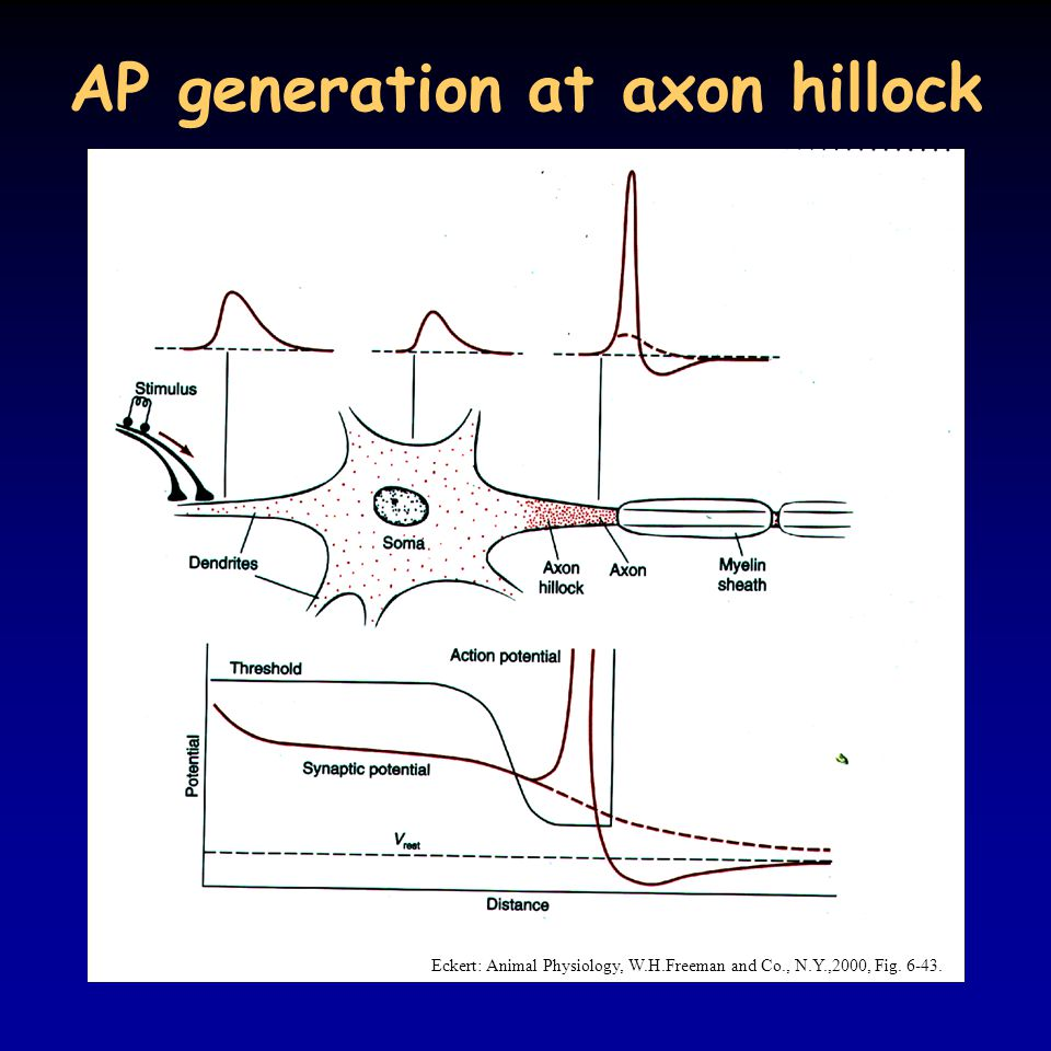 AP generation at axon hillock Eckert: Animal Physiology, W.H.Freeman and Co., N.Y.,2000, Fig. 6-43.
