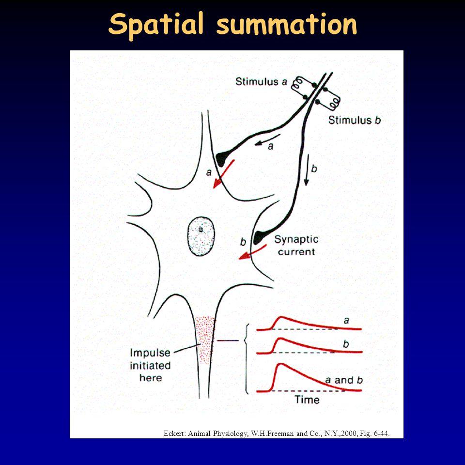 Spatial summation Eckert: Animal Physiology, W.H.Freeman and Co., N.Y.,2000, Fig. 6-44.