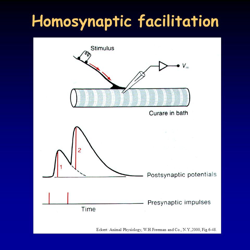 Homosynaptic facilitation Eckert: Animal Physiology, W.H.Freeman and Co., N.Y.,2000, Fig.6-48.