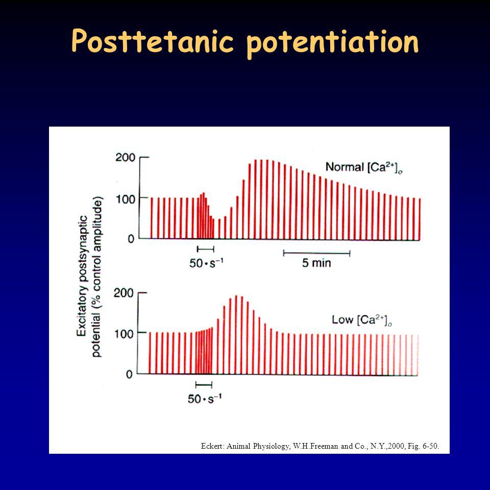 Posttetanic potentiation Eckert: Animal Physiology, W.H.Freeman and Co., N.Y.,2000, Fig. 6-50.