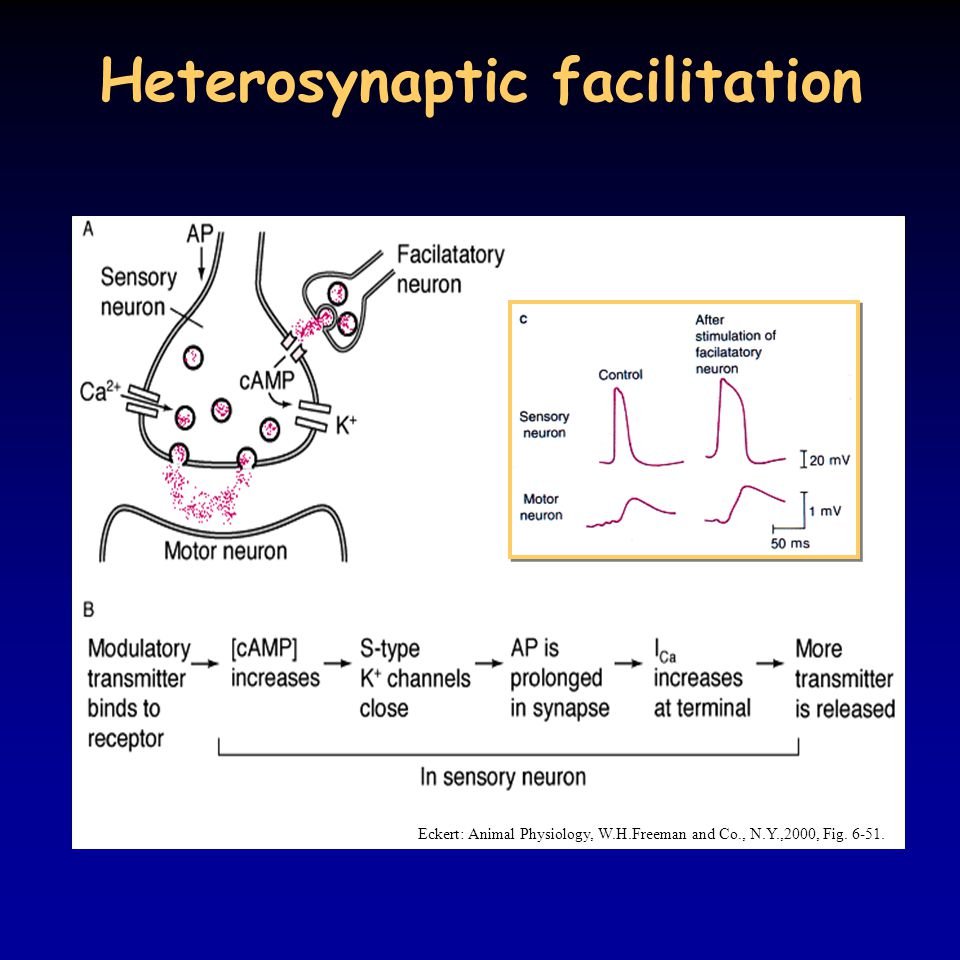 Heterosynaptic facilitation Eckert: Animal Physiology, W.H.Freeman and Co., N.Y.,2000, Fig. 6-51.
