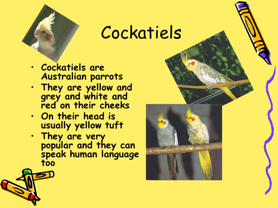 Cockatiels Cockatiels are Australian parrots They are yellow and grey and white and red on their cheeks On their head is usually yellow tuft They are
