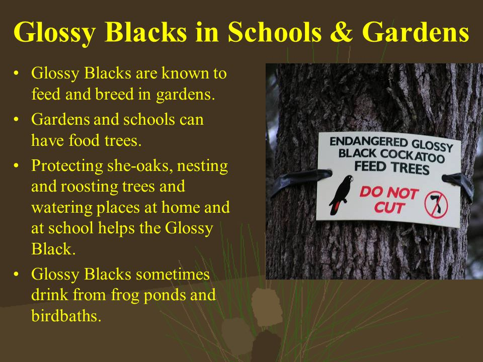 Glossy Blacks in Schools & Gardens Glossy Blacks are known to feed and breed in gardens.