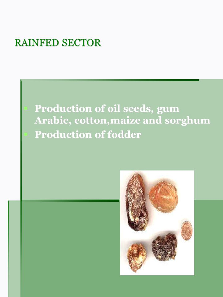 RAINFED SECTOR Production of oil seeds, gum Arabic, cotton,maize and sorghum Production of oil seeds, gum Arabic, cotton,maize and sorghum Production of fodder Production of fodder