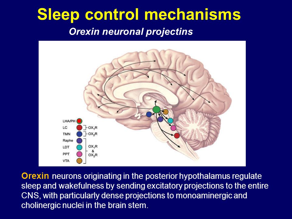 Sleep control mechanisms Orexin neuronal projectins Orexin neurons originating in the posterior hypothalamus regulate sleep and wakefulness by sending