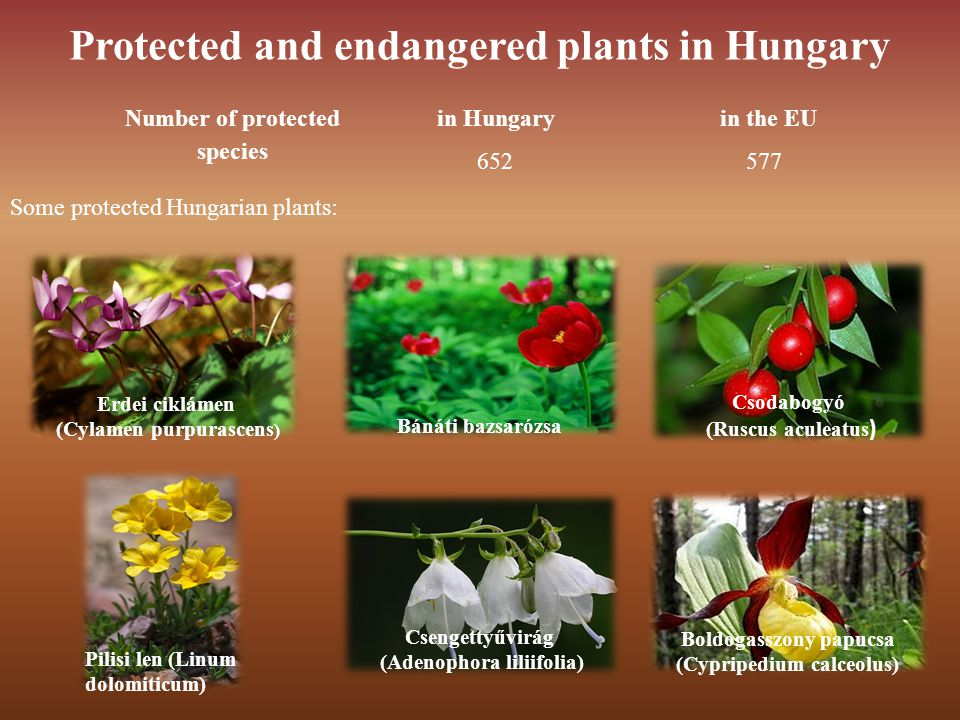 Protected and endangered plants in Hungary Number of protected species in Hungaryin the EU Erdei ciklámen (Cylamen purpurascens ) Bánáti bazsarózsa Csodabogyó (Ruscus aculeatus ) Pilisi len (Linum dolomiticum) Csengettyűvirág (Adenophora liliifolia) Boldogasszony papucsa (Cypripedium calceolus) 652 577 Some protected Hungarian plants: