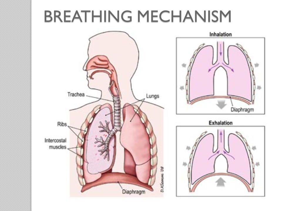 BREATHINGMECHANISM BREATHING MECHANISM