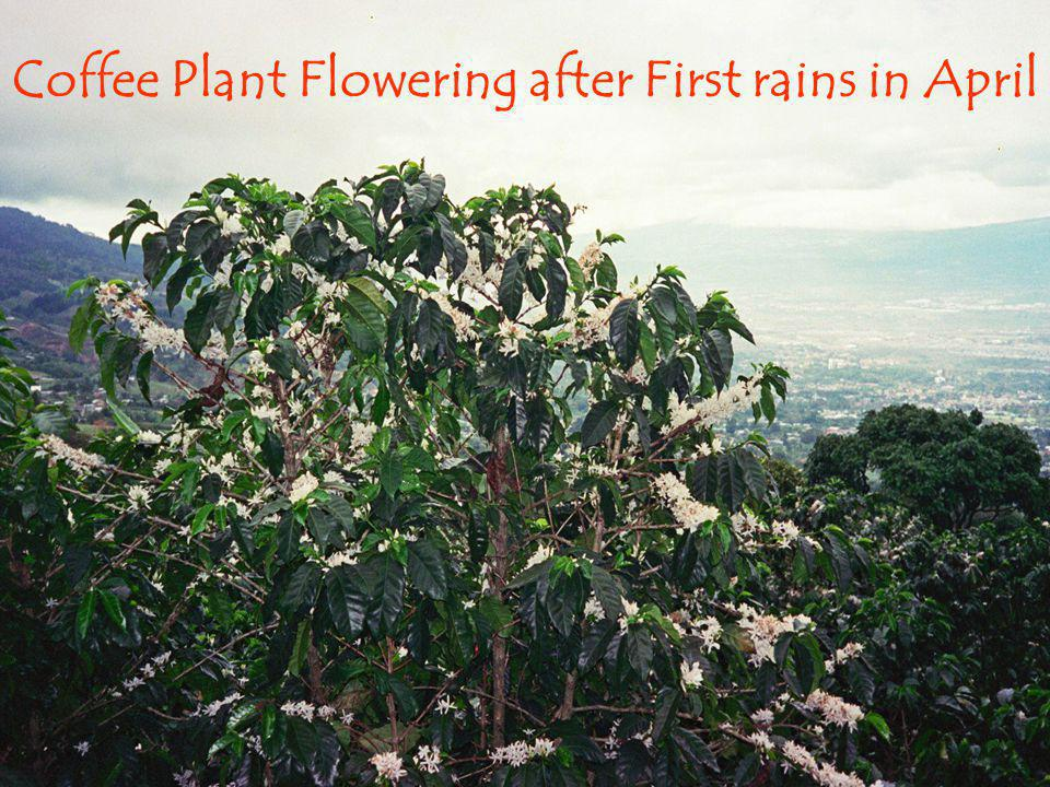 Coffee Plant Flowering after First rains in April