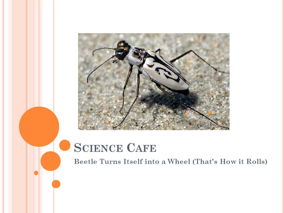 B ELLWORK Today we will be reading an article titled Beetle Turns Itself into a Wheel (Thats How it Rolls).