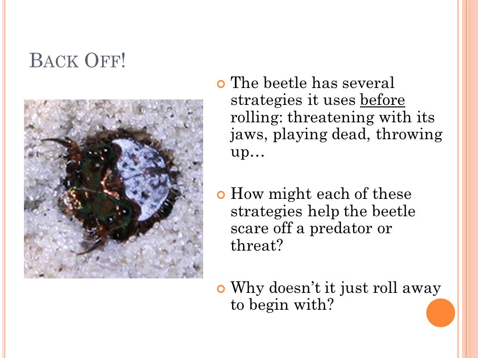 B ACK O FF ! The beetle has several strategies it uses before rolling: threatening with its jaws, playing dead, throwing up… How might each of these s