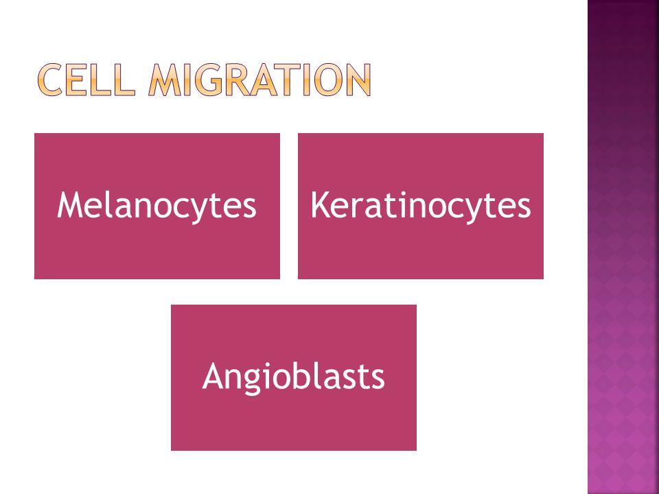 KeratinocytesMelanocytes Angioblasts